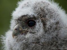 Tawney Owl by Kurt De Meulemeester on 500px
