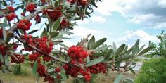 Benefits of Buffaloberry, Chokeberry and Sea Buckthorn. These Canadian Native Fruits Show Great Medical Potential Fruit Plants, Fruit Trees, Nitrogen Fixing Plants, Healthy Living Tips, Native Plants, Amazing Nature, Nativity, Buffalo, Berries