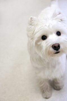 About the only kind of small dog I actually adore - probably because they have a slightly cat-like appearance?