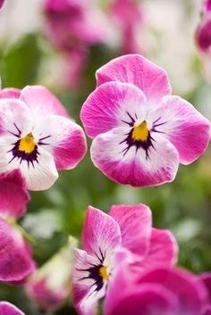 79 best pansies images on pinterest beautiful flowers violets and pansies in two shades of pink with a purple throat and yellow splotched center mightylinksfo
