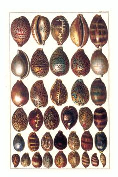 KUALA SKYLAB: NATURAL CURIOSITIES FROM THE CABINET OF ALBERTUS SEBA. COWRIES AND EGG SHELLS FROM THE INDO-PACIFIC.