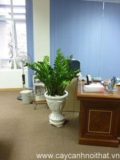 Cây cảnh trang trí văn phòng: Cây Kim Phát tài - http://caycanhnoithat.vn/cay-canh-trang-tri-van-phong-cay-kim-phat-tai/