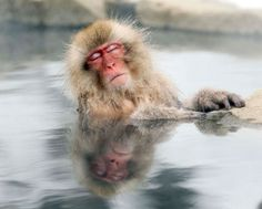 A Japanese snow monkey relaxes in a hot spring in the Jigokudani valley in northern Nagano Prefecture in Japan Friday, Feb 10, 2012. The macaques descend from the forests to the warm waters of the hot springs in the mornings, and return to the security of the forests in the evenings.