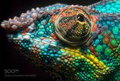 chameleon by dwaipayandablu #animals #animal #pet #pets #animales #animallovers #photooftheday #amazing #picoftheday