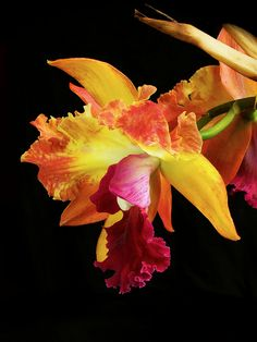 Orchid Cattleya Potinara Potai Queen x Potinara Treasures of Bogota