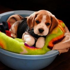 Super Cute Puppies, Cute Baby Dogs, Cute Little Puppies, Cute Dogs And Puppies, Cute Little Animals, Cute Funny Animals, Doggies, Adorable Dogs, Baby Beagle