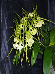 Do you think spiders are really cool? Then consider growing your own spider–spider orchid that is, genus Brassia. Even if you don't like spiders, you'll love the Brassia orchid. It's a beauti…
