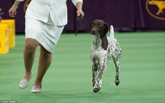 CJ, a German short-haired pointer, won Best in Show at the 140th Westminster Kennel Club Dog Show at Madison Square Garden