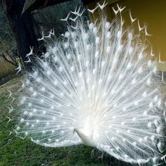 Males of both the white peacock and standard peacock variety are resplendent examples of fractals in the animal kingdom.   ~Trivia: the white peacock is not an albino