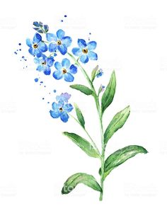 Forget Me Not Flower, Watercolor vector art illustration Watercolor Tatoos, Watercolor Cards, Watercolor Flowers, Watercolor Paintings, Abstract Watercolor, Forget Me Nots Flowers, Forget Me Not Tattoo, Aquarell Tattoos, Plant Drawing