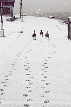 The good the bad and the ugly? or just three ducks out for a stroll!