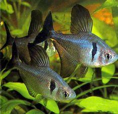 black phantom tetras (Megalamphodus megalopterus) Definitely some of my favorite fish! they look like little sharks Tropical Aquarium, Saltwater Aquarium, Tropical Fish, Betta Aquarium, Tropical Freshwater Fish, Freshwater Aquarium Fish, Aquariums, Tetra Fish, Cool Fish