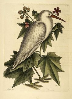Birds from The Natural History of Carolina, Florida, and the Bahama Islands (1754)