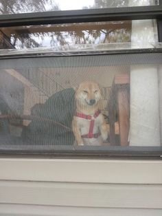 A smiling dog over the window...she akways smiles when she find friends through the window...