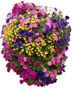 Plantopia Hanging Basket-Petunias and Calibrachoa make great container partners.    WIth so many color options for each, the sky's the limit with combinations. Here, indigo, light and deep pink petunias    happily coexist with yellow and white Calibrachoa.