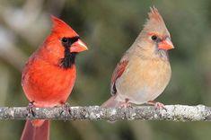 Bombay Hook, DE on 01-23-21 Bird Pictures, Free Pictures, Cardinal Symbolism, Baby Cardinals, Northern Cardinal, State Birds, Ohio Birds, Power Animal, Cardinal Birds