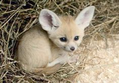 Lustige Tierbilder – Funny animal pictures – pictures The post Funny animal pictures – pictures appeared first on Huge. Fennec Fox Baby, Animals And Pets, Funny Animals, Baby Wild Animals, Safari Animals, Funny Cats, Cute Little Animals, Adorable Baby Animals, Cutest Animals