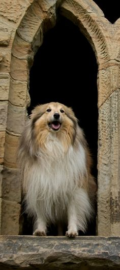 Sheltie in a arching window.