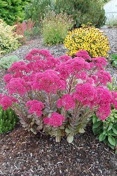 Sedum Dynomite Succulents, Yard, Flowers, Plants, Patio, Succulent Plants, Plant, Courtyards, Royal Icing Flowers