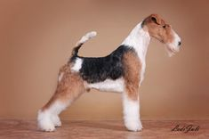 Perro Fox Terrier, Wire Fox Terrier, Rat Terriers, Dog Grooming Salons, Pet Grooming, Terrier Breeds, Puppy Breeds, Felt Animals, Animals And Pets