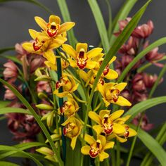 Cymbidium orchids are easy to grow and, if you give them the right conditions, they will reward you with flowers year after year. Cymbidiums are regarded as the queen of. Growing Vegetables In Containers, Container Gardening Vegetables, Succulents In Containers, Container Flowers, Container Plants, Vegetable Gardening, Orchid Pot, Orchid Plants, Flower Plants