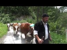 Beautiful Swiss Cows Ascend the Alps -- Alp Auffahrt