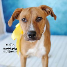 01/13/16-Montgomery County Animal Shelter Texas Like This Page · January 5 · Mello, ID: A266463 (Location: GREEN) Female, Labrador Retriever Mix, found on Ben Higgins Rd in Conroe Intake: 12/16/15 INTERESTED IN ONE OF OUR PETS? Visit the shelter or EMAIL inquiries@carecorporation.net with ID ----> Visit our website for our latest ADOPTION SPECIALS: http://www.mcaspets.org/adoption-specials.html