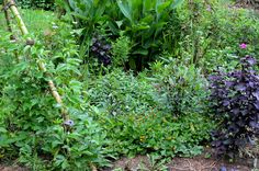 Herbal polyculture with passionflower on the trellis, purple shiso, roselle hibiscus, spilanthes, astragalus, and rose