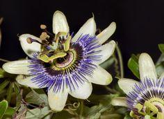 """MBURUCUYÁ Passiflora caerulea El MBURUCUYÁ (o """"Pasionaria"""") es una planta representante de nuestra flora autóctona. Es trepadora, pertenece a la familia de las pasifloráceas de tallos trepadores y leñosos, tiene brotes tiernos rojizos, hojas alternas, trilobadas, verde oscuras. Sus zarcillos espirales aparecen en las axilas de las hojas, la planta los utiliza para sujetarse."""