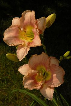 Peach colored Day lily