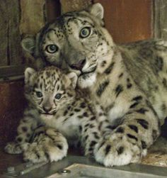 Beautiful Mama Snow Leopard and Her Cub