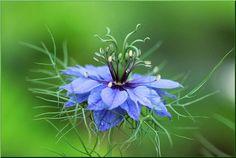 Nigella - Mediterranean plants