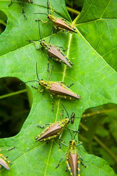 Grasshoppers on rainforest vegetation, Calilegua National Park, Salta, Argentina Flying Insects, Bugs And Insects, Chill, Bees And Wasps, Grasshoppers, Butterflies Flying, Welcome To The Jungle, Creepy Cute, Shades Of Green