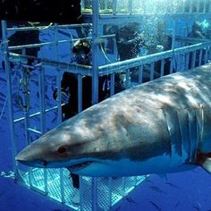 Orcas, Great White Shark Diving, Cage Diving With Sharks, South Africa Tours, Shark Cage, Shark Swimming, Def Not, Shark Week, Scuba Diving
