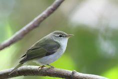 イイジマムシクイ/Ijima's Leaf Warbler/VU(2012RDB)