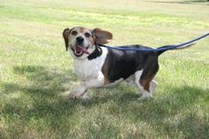 Truman is an adoptable Beagle Dog at Seekonk Animal Shelter. He loves everyone and every thing, including other dogs, cats, kids and grown ups.  And he's so cute!