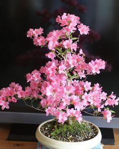 7yrs old bonsai azalea