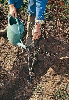Les bons gestes pour planter un arbre truffier