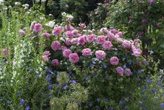 English cottage gardens are a charming (and practical) jumble of flowers, herbs, and fruit trees. See 10 design ideas to create an English cottage garden, from the editors of Gardenista. Garden Shrubs, Flowering Shrubs, David Austin Rosen, Mixed Border, Rose Foto, Rose Garden Design, Shrub Roses, Blooming Rose, Companion Planting