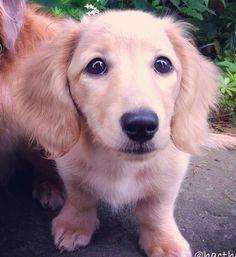 Golden Retriever/Dachshund Mix (Fun size golden retriever!!) Golden Dachshund, Long Haired Dachshund, Dachshund Mix, Daschund, Animals And Pets, Cute Animals, Short Dog, Cutest Puppy Ever, Cute Dogs And Puppies