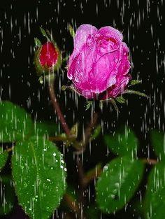 Rain and Roses {GIF}
