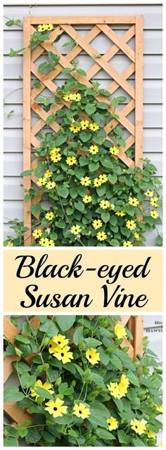 Black-eyed Susan vine - you must plant one of these in your garden this year - its the vine that keeps going strong all summer long - Flower Beds and Gardens Outdoor Plants, Garden Plants, Outdoor Gardens, Garden Trellis, Vine Trellis, Garden Shrubs, Shade Garden, House Plants, Backyard Plants
