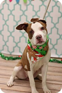 12/24/15 Philadelphia, PA - Terrier (Unknown Type, Medium)/Pit Bull Terrier Mix. Meet MISSY, a dog for adoption. http://www.adoptapet.com/pet/14595023-philadelphia-pennsylvania-terrier-unknown-type-medium-mix