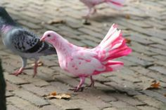 White and pink colored pigeon...why do I feel like if you could find such a bird that it would find a home in your coop?!