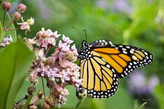 Colorful Monarch Butterfly by Christina Rollo. Colorful Monarch Butterfly (Danaus plexippus) feeding on pretty pink milkweed flowers in summertime. Photographed in Binghamton New York, USA. Buy fine art prints online at www.rollosphotos.com.