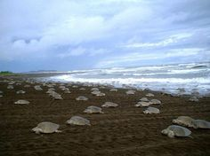 Sea turtle eggs poached from Costa Rica beaches