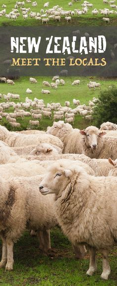 new zealand s canterbury plains is a little overcrowded http www