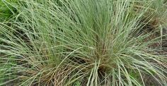 Ammophila arenaria JS® 'Belgian Coast' op vasteplant.be