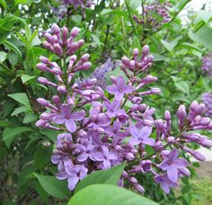 lilac~ love the smell !!!!!!