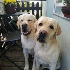 Andíček, Aronek Dog Photos, Labrador Retriever, Photo And Video, Animals, Instagram, Labrador Retrievers, Animales, Animaux, Animal
